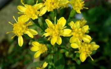 Жълт енчец Solidago virgaurea L