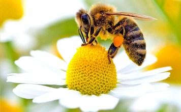 Лечебните свойства на пчелното млечице