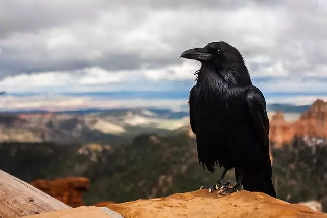 Съновник Баба Ванга - врана