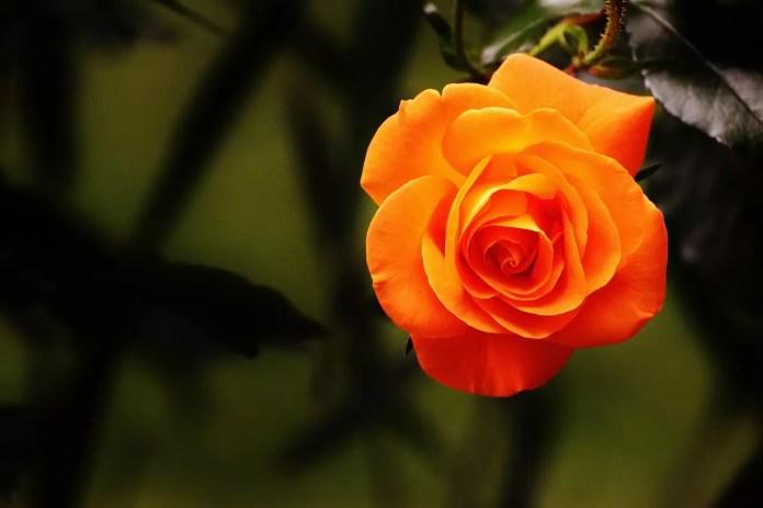 Цветът на розите носи тайнствени послания - Оранжева