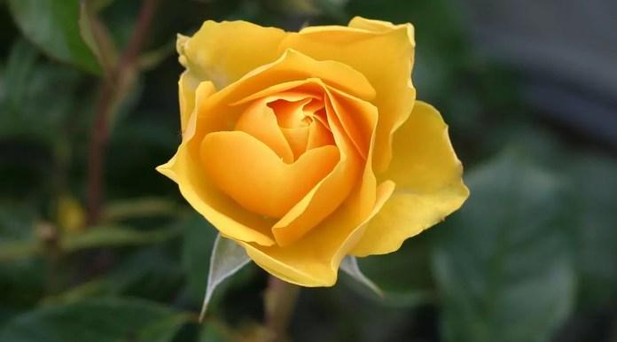 Цветът на розите носи тайнствени послания - Жълта