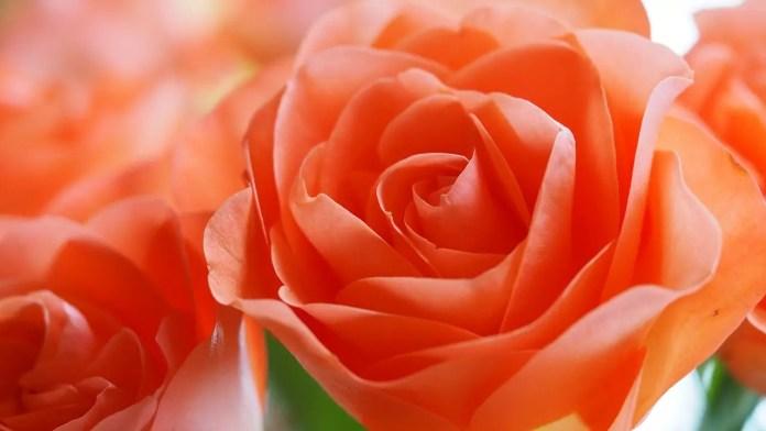 Цветът на розите носи тайнствени послания - Прасковена