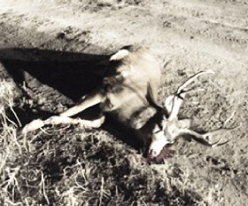 This four-point buck deer was illegally shot and killed near Moroni last week. Investigators are currently looking for the poachers.