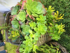 Lush succulent baskets made by Beloved Baskets & Decor