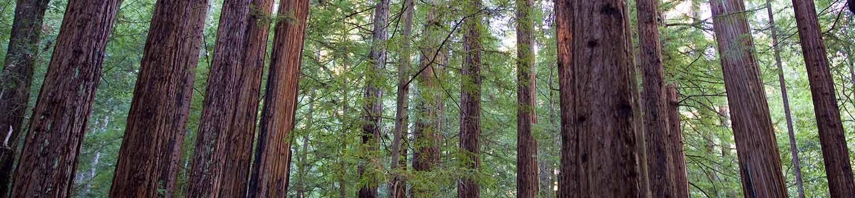 Redwoods-1500w