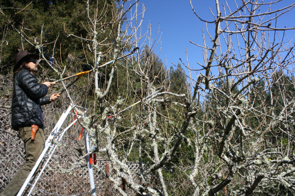 Man standing on an orchard ladder holding long-arm pruners toward tree.