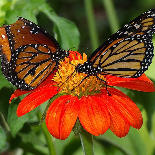800px-Butterflies_UFmuseum