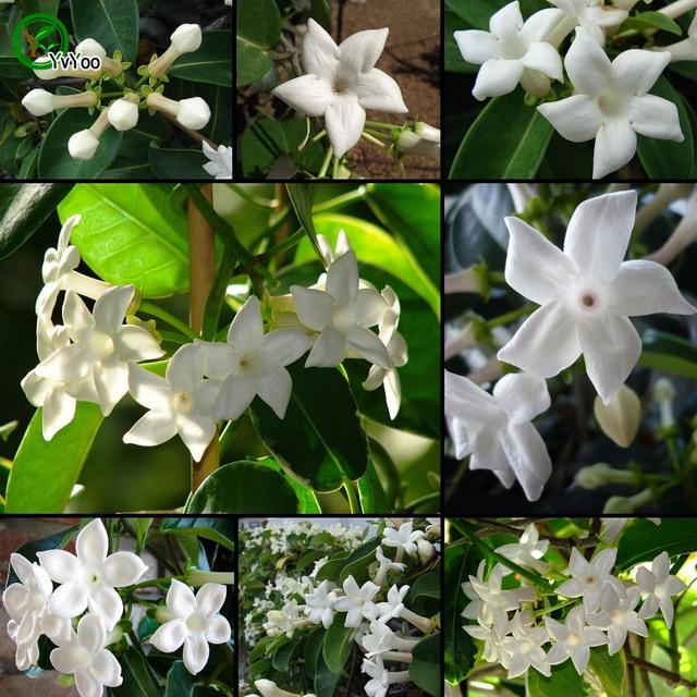 berbagai tanaman bunga melati