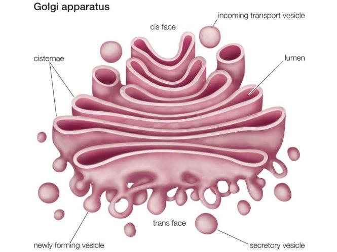 badan golgi sel hewan