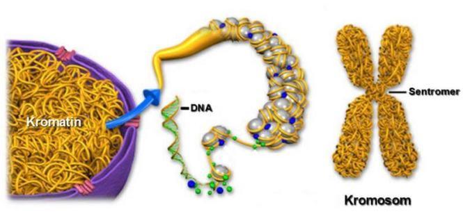 sel tumbuhan kromoson dan kromatin