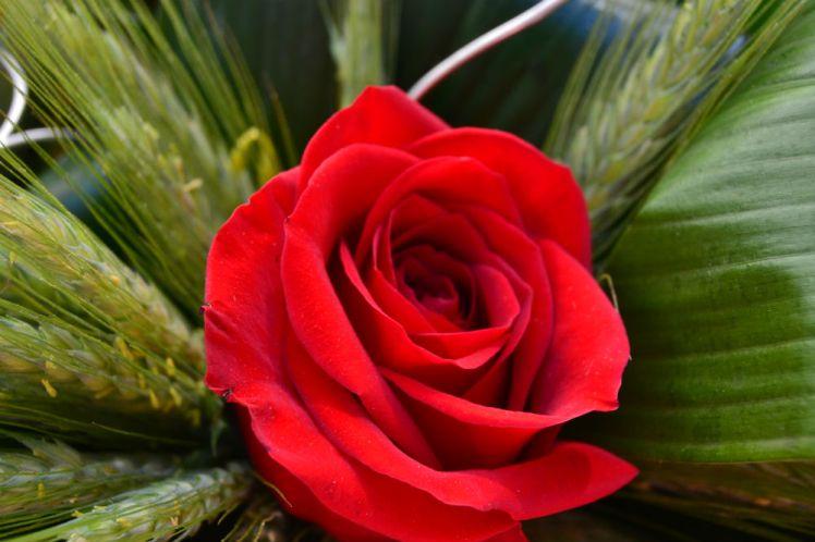 Una rosa, de las muchas que se han vendido // Elisenda Colell