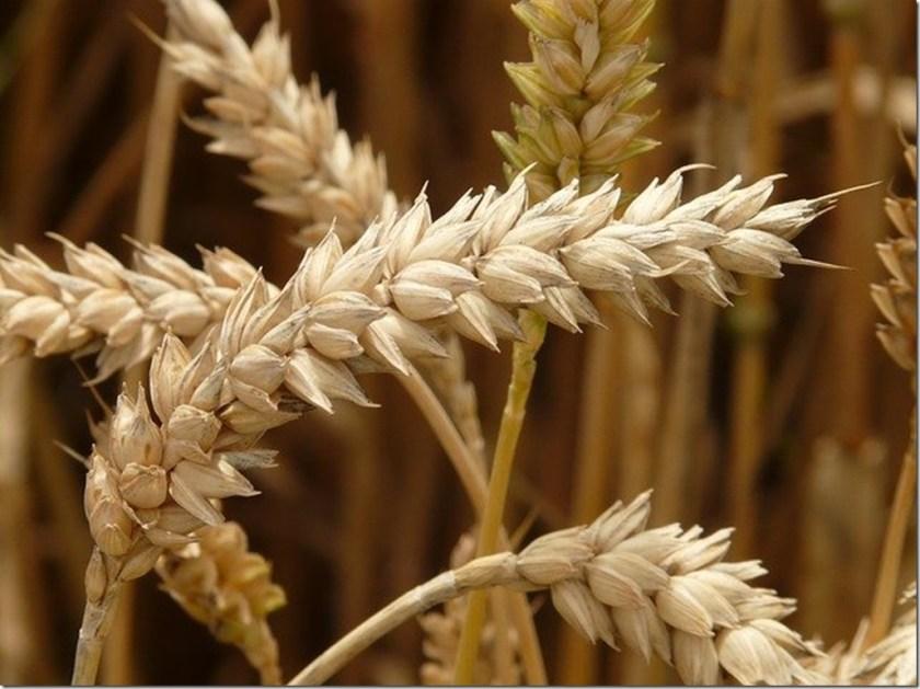 Manger des céréales ou pas ? Le blé - Choisissez des variétés anciennes pour faire du pain