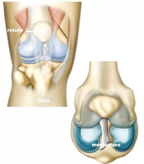 Anatomie du genou et l'aspect des ménisques.