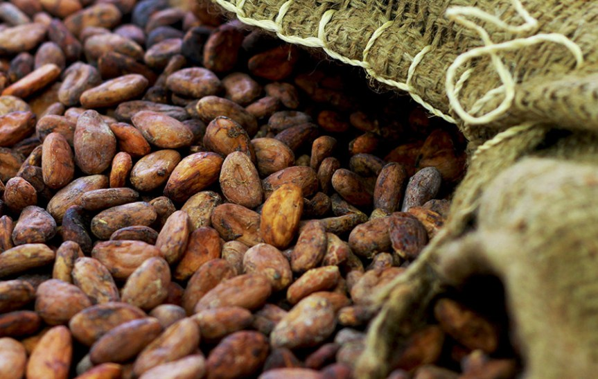 Cocoa Beans. Craft Chocolate Making