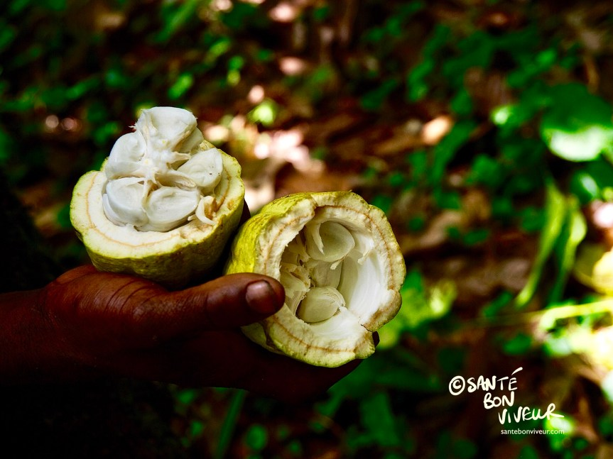 Raw pulpy cocoa beans in a freshly picked cocoa pod. CacaoTrails Chocolate Museum, Limón Province, Costa Rica.