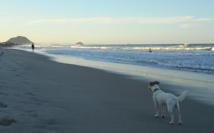 Long-Term House Sitting: Avocado the dog enjoying the beach at Tauranga, New Zealand.