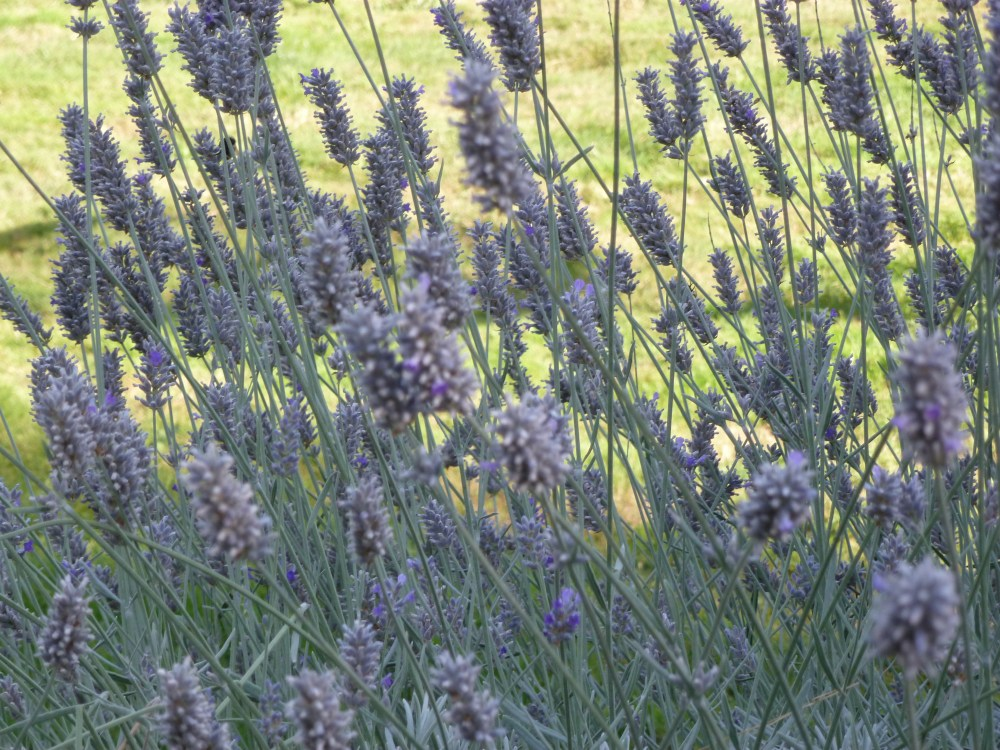 Lavender in the Valley