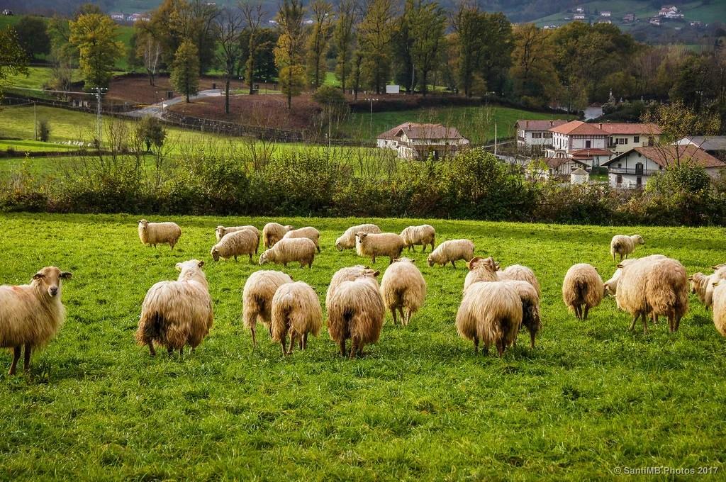 La oveja que me miraba