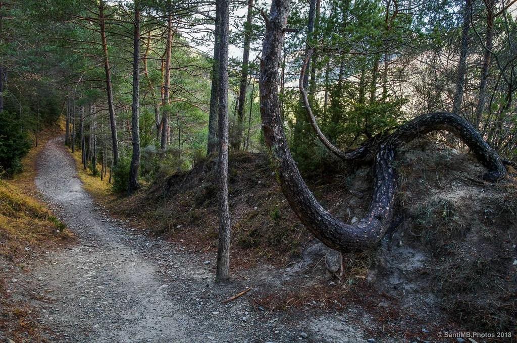 El pino sinuoso