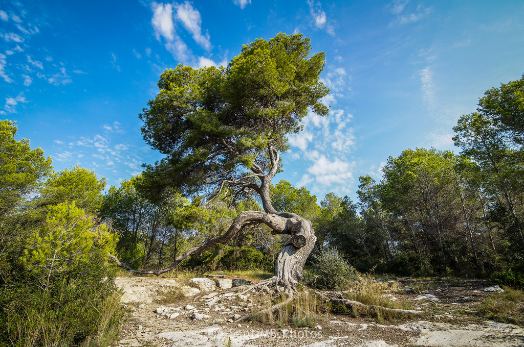 El pino atormentado