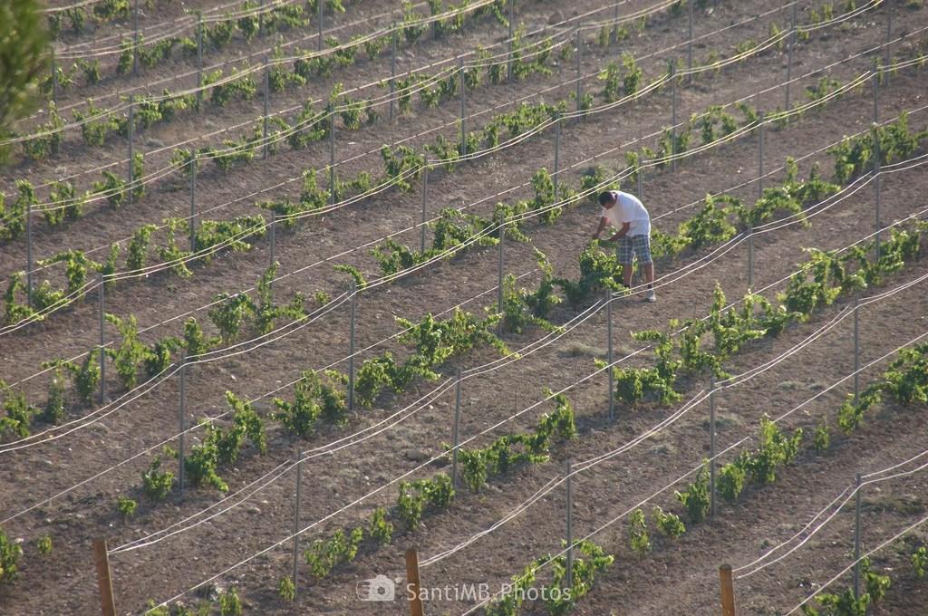 Mimando la viña