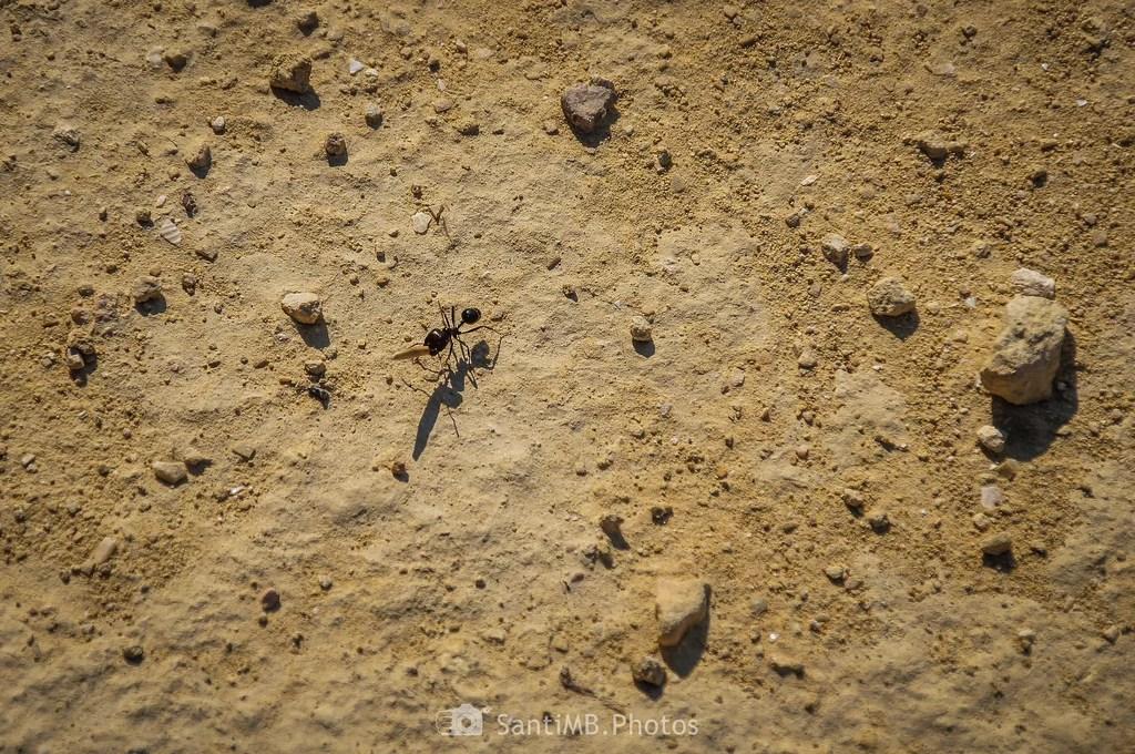 Digna hormiga