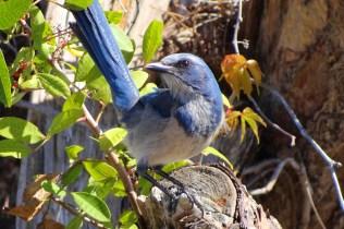 Florida Scrub Jay photo by Rick Bunting