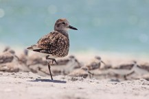 Black-bellied plover on the beach. SC photo by Kyle Sweet