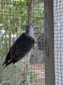 rb woodpecker1