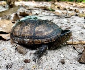 The Florida Mud Turtle