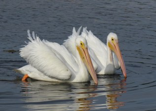 White Pelicans by Rick Bunting