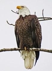 Eagle r1