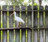 white ibis hit by golf ball (1)