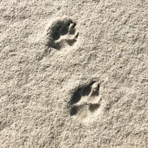 coyote tracks ed