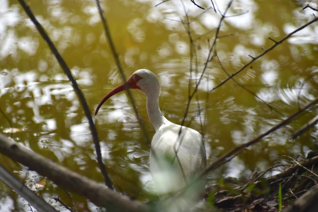 White Ibis Makes Staggering Recovery