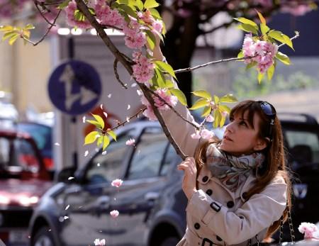 Cerejeiras em flor, Skopje, Japão, abril 2013, LUSA, EPA/GEORGI LICOVSKI