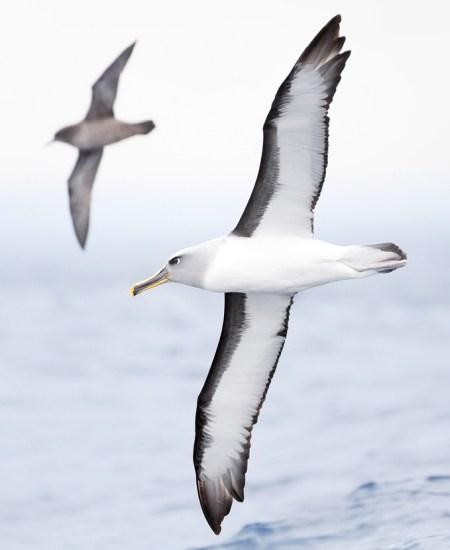 Foto de JJ Harrison, Albatrós de Buller como una pardela de cauda curta voando atrás, península da Tasmânia, Australia