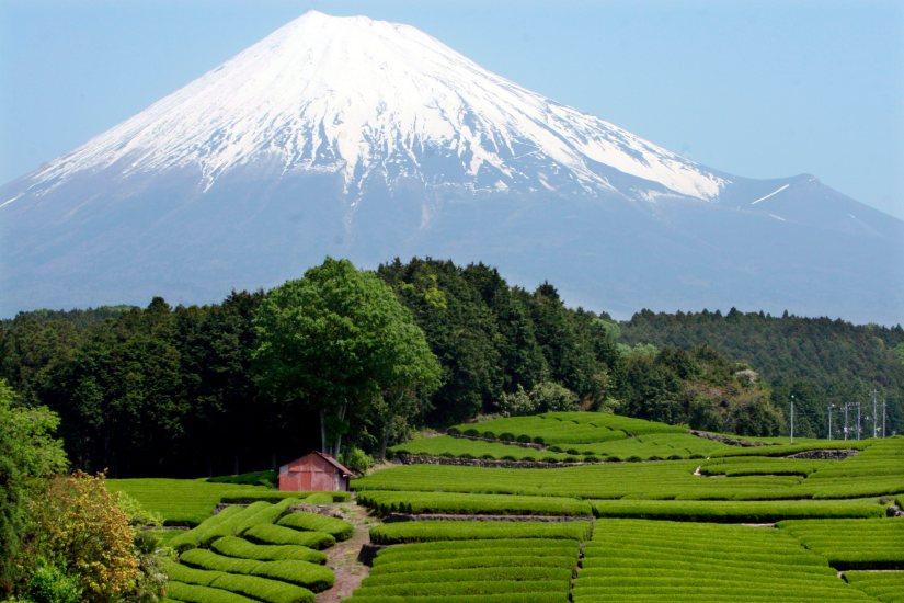 Campos de chá japoneses perto do Monte Fuji, na província de Shizuoka, Japão. EPA / EVERETT KENNEDY BROWN. Maio de 2007.