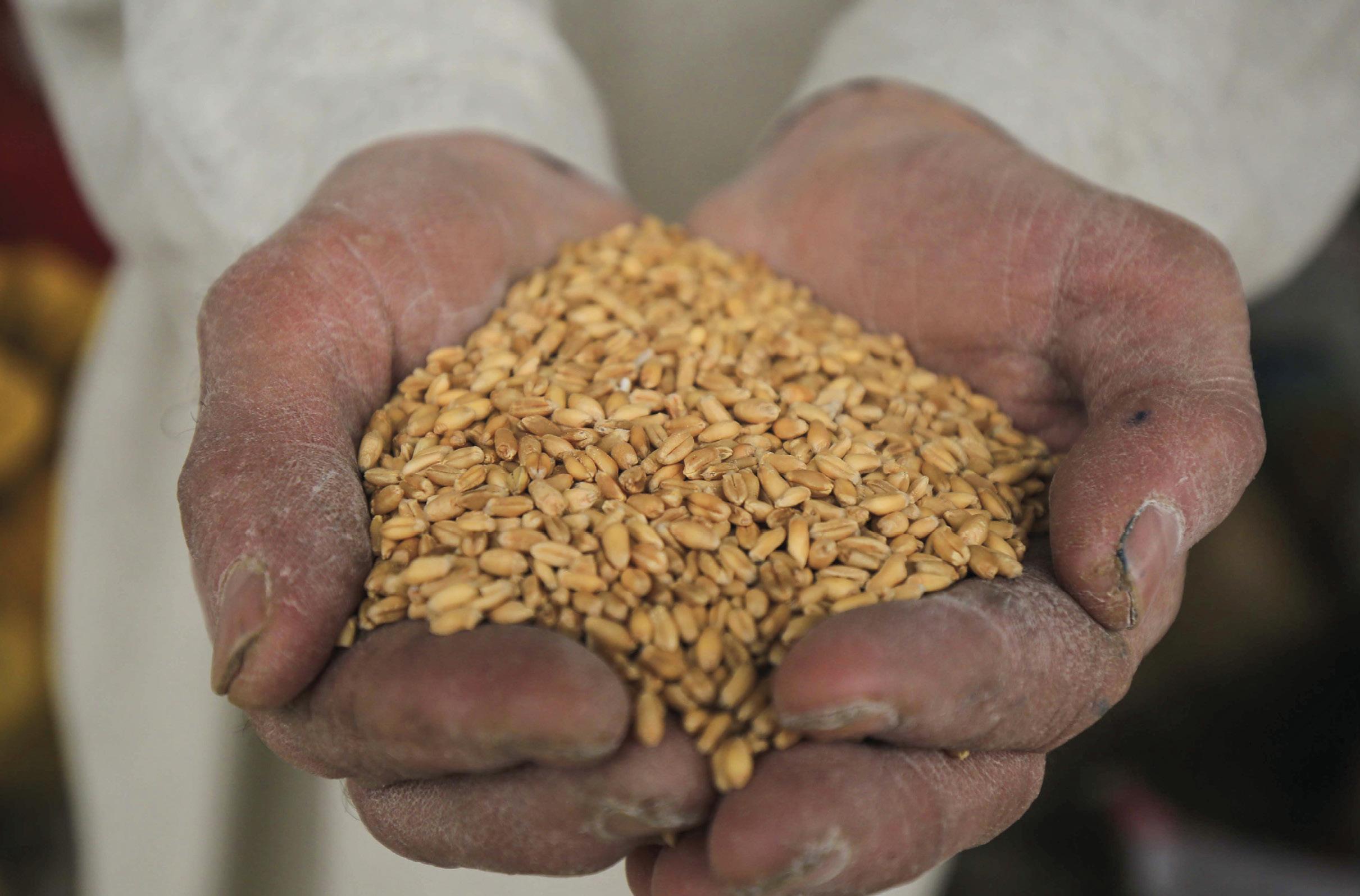Crise da farinha no Paquistão. Sementes de trigo, num mercado de Peshavar, Paquistão, 21 de janeiro 2020. Foto: EPA / BILAWAL ARBAB.