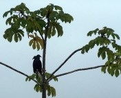 Two-headed Black Vulture