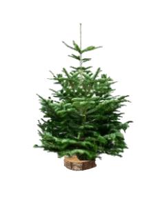 Nordmann 2 sapin bio de Noël