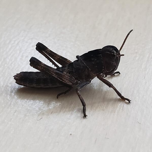 トノサマバッタ 3齢幼虫