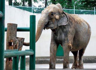 おびひろ動物園のインドゾウ
