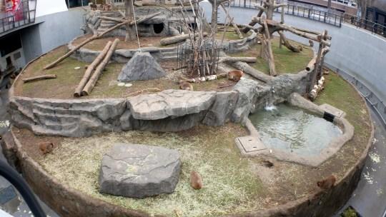 札幌円山動物園4月14日から5月6日まで休園、2020年5月7日から開園!日本猿も密接していなくてすごい!これだけ広い場所、職員の皆様飼育とともに消毒作業も大変なことと感じました。ご苦労さまです!開園を楽しみにしてます!
