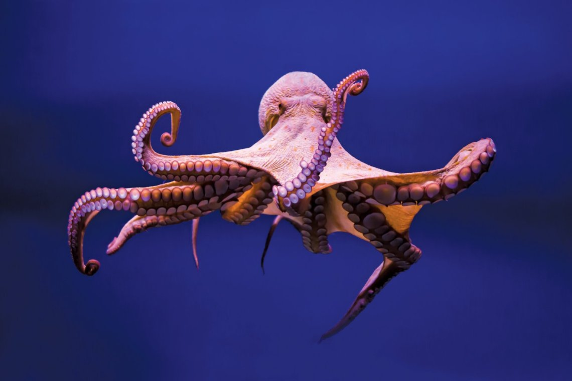 octopus-getty-images