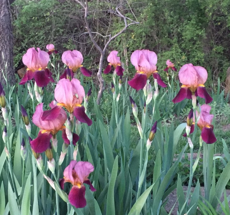 Master Gardener: Dividing Iris