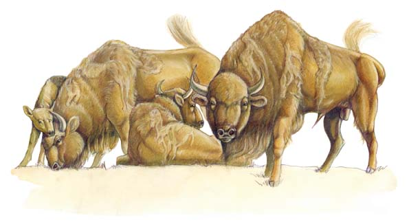 Wisent-Layout