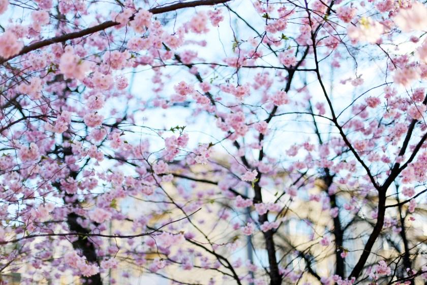 de första körsbärsblommorna & tisdagsmiddag på barobao