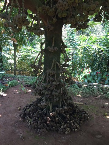 Fig tree on our spice plantation tour.