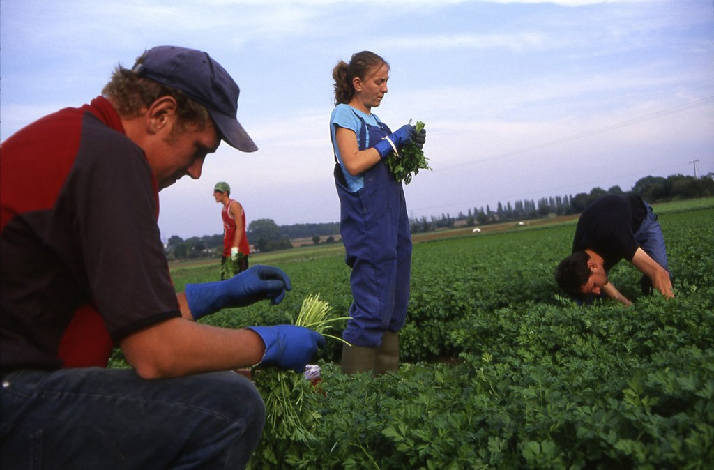 Cutting coriander in Kent.